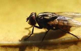 Как бороться с мухами в квартире или частном доме?