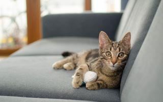 Как избавиться от запаха кошачьей мочи в квартире: чистим диван, ковер и обувь народными средствами