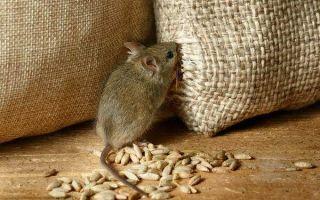 Как бороться с мышами в квартире или частном доме?
