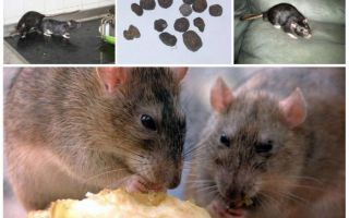 Как вывести крыс из дома: ловушки, яд, ультразвук, клей и другие способы борьбы