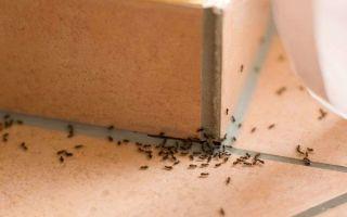 Как вывести муравьёв из квартиры народными и профессиональными средствами?