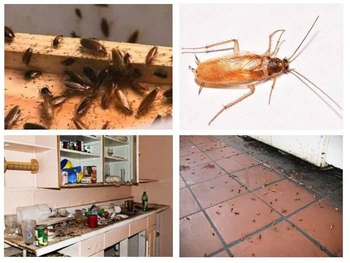 Колонии тараканов