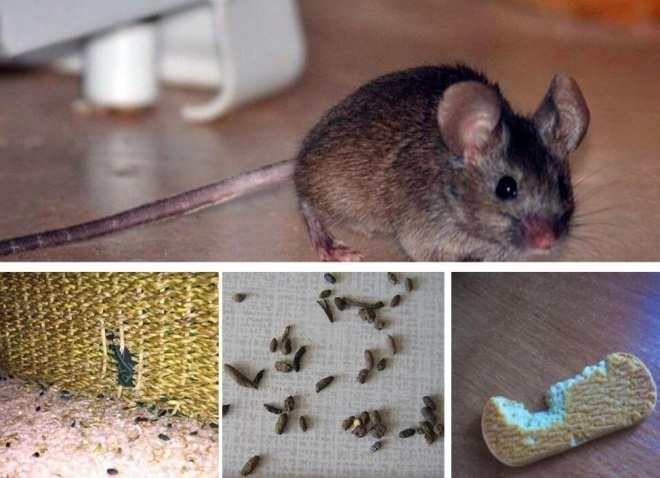 Признаки появления мышей