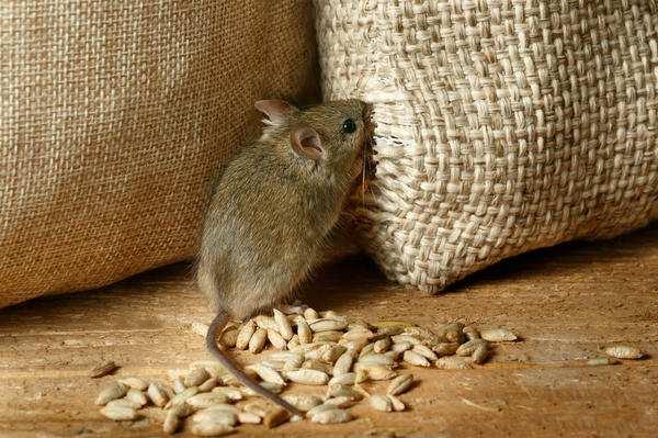 мышь грызет пшеницу